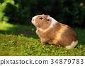 Adorable guinea pig 34879783