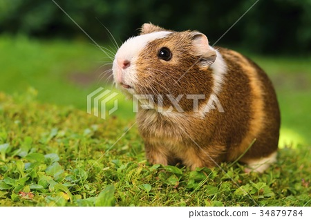 Guinea pig on lawn 34879784