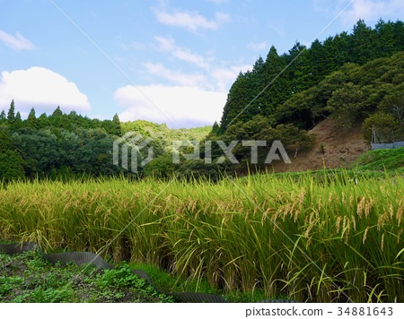 Landscape with rice cultivation 34881643