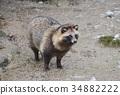 貉 動物 哺乳動物 34882222