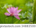 莲花 莲藕 蜻蜓 34883500