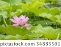 莲花 莲藕 蜻蜓 34883501