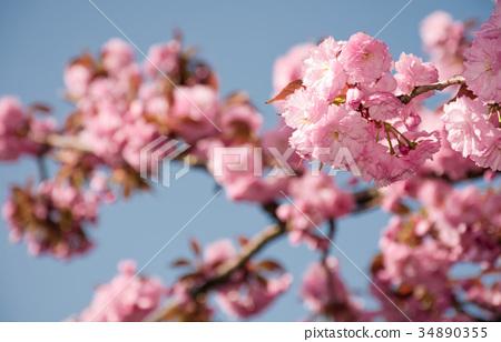 pink sakura flowers on a twig 34890355