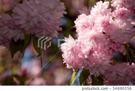 Sakura flower blossom in garden at springtime 34890356