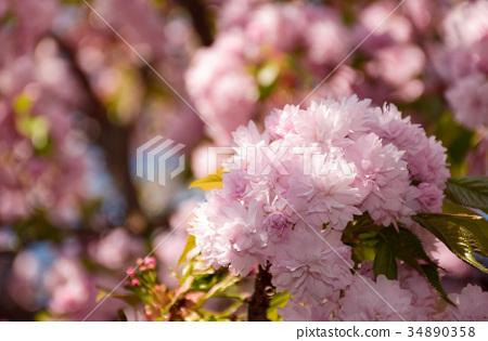 Sakura flower blossom in garden at springtime 34890358