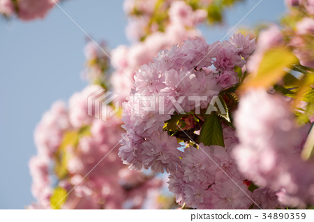 pink sakura flowers on a twig 34890359