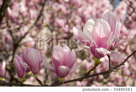 Magnolia flower blossom in spring 34890361