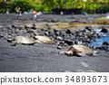 Hawaiian green turtles relaxing at Punaluu Black Sand Beach on the Big Island of Hawaii 34893673