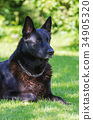 Black german shepherd dog outdoors. 34905320