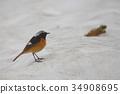 wild bird, birdie, small bird 34908695