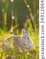 野兔 兔子 兔 34912664
