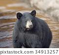 Black Bear in water 34913257