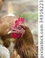 chicken, chickens, bird 34916223