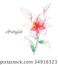 Amaryllis flower painting on white background 34916323