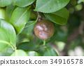 山茶花 日本山茶 水果 34916578