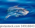 Sunfish underwater while eating jellyfish 34916643