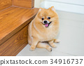 pomeranian dog cute pets short hair style in home 34916737