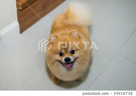 pomeranian dog cute pets short hair style in home 34916738
