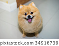 pomeranian dog cute pets short hair style in home 34916739