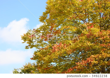 가을, 단풍, 느티나무 34922238