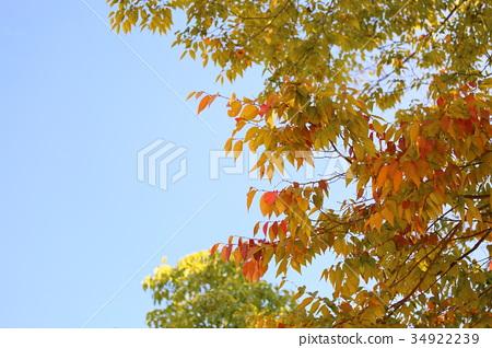 가을, 단풍, 느티 나무 34922239