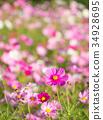 คอสมอส,ทุ่งดอกไม้,ฤดูใบไม้ร่วง 34928695