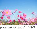 คอสมอส,ทุ่งดอกไม้,ฤดูใบไม้ร่วง 34928696