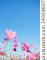 大波斯菊 大波斯菊田地 花園 34928697