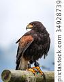 Hawk, harris, parabuteo 34928739