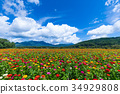 백일초, 백일홍, 푸른 하늘 34929808