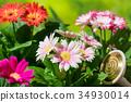 从事园艺的大丁草花 34930014