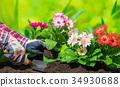 gardening, mini gerbera, gerbera 34930688