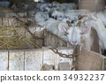 White Swiss Saanen goats on the farm 34932237