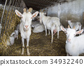 White Swiss Saanen goats on the farm 34932240