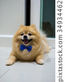 pomeranian dog cute pets short hair style in home 34934462