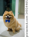 pomeranian dog cute pets short hair style in home 34934465