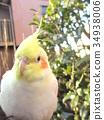玄鳳鸚鵡 雞尾鸚鵡 鳳頭鸚鵡 34938006