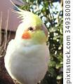 玄鳳鸚鵡 雞尾鸚鵡 鳳頭鸚鵡 34938008