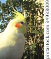 玄鳳鸚鵡 雞尾鸚鵡 鳳頭鸚鵡 34938009