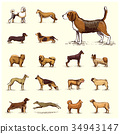 dog breeds engraved, hand drawn vector 34943147