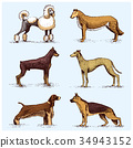 dog breeds engraved, hand drawn vector 34943152