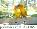 Lovebird Couple Colorful Parrot. in the Zoo 34943653