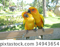 Lovebird Couple Colorful Parrot. in the Zoo 34943654