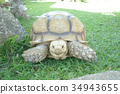 Giant Tortoise look at camera Background 34943655