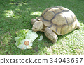 Giant Tortoise eating Green Vegetable Background. 34943657