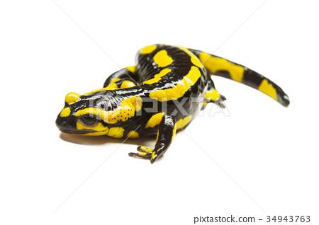 salamander. 34943763