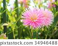 달리아 꽃 34946488