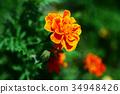 금잔화, 오렌지색, 꽃 34948426
