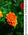 금잔화, 오렌지색, 꽃 34948433