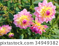 달리아 꽃 34949382